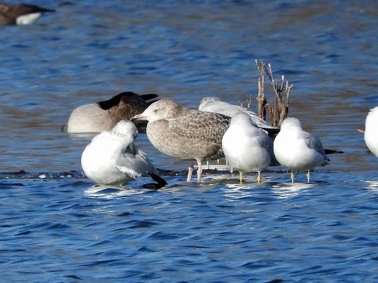 Herring Gull (juvenile) with Ring-billed Gulls