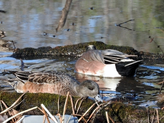 American Wigeon (male and female)