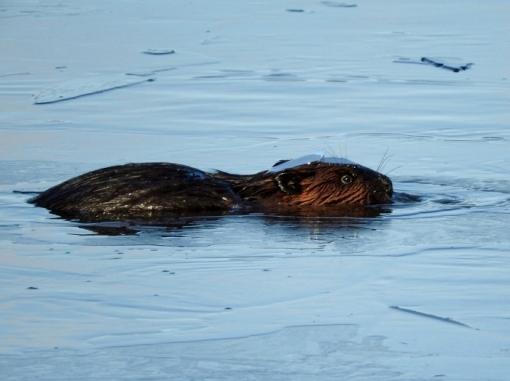 Beaver breaking through ice
