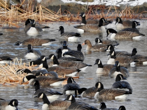 Greater White-fronted Goose with Canada Geese