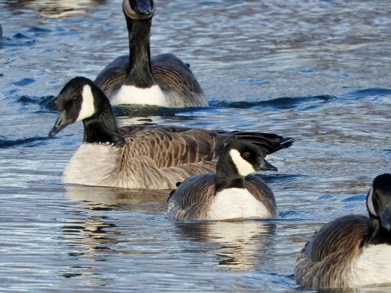 Another Cackling Goose?