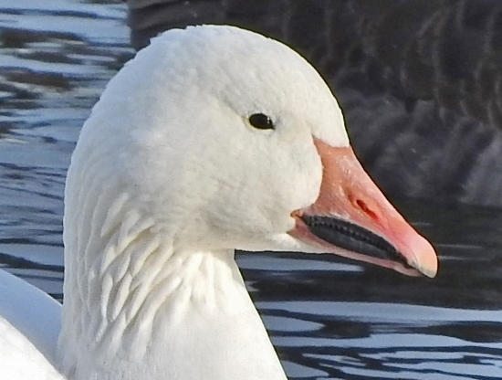"Snow Goose ""Grinning patch"""
