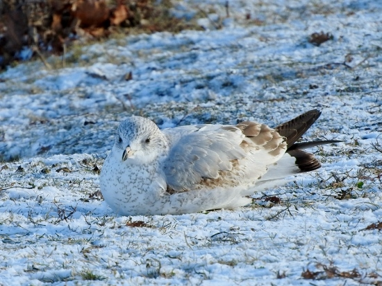 Ring-billed Gull on Snow