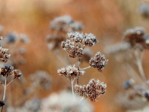 Frost-covered Wild Marjoram