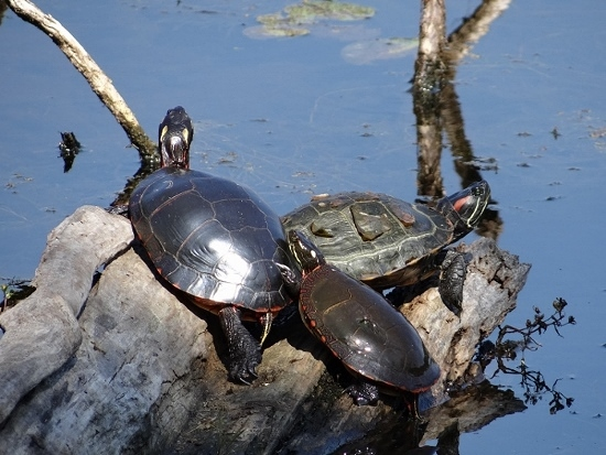 Painted Turtles with Red-eared Slider
