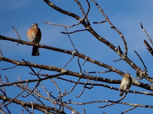 Hermit Thrush and Robin