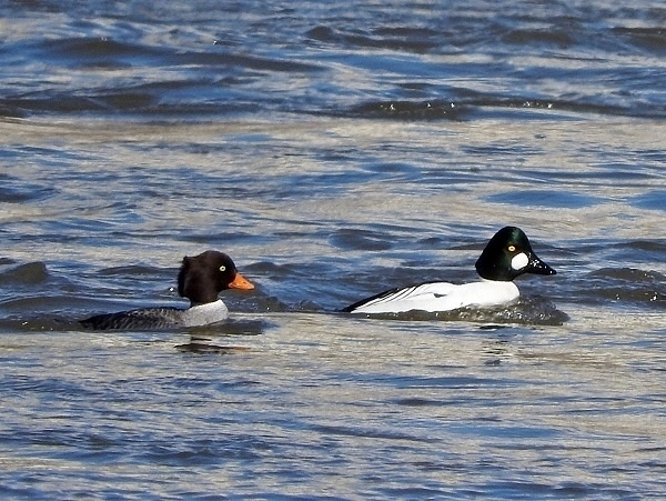 Female Barrow's and male Common Goldeneyes 2