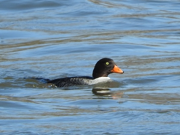 Barrow's Goldeneye (female) 2