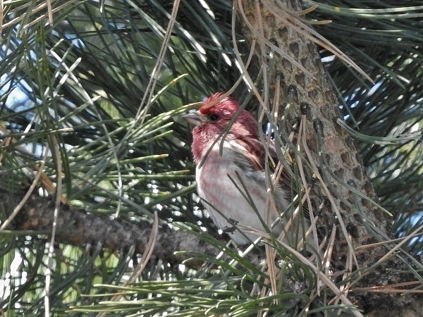 Purple Finch 2