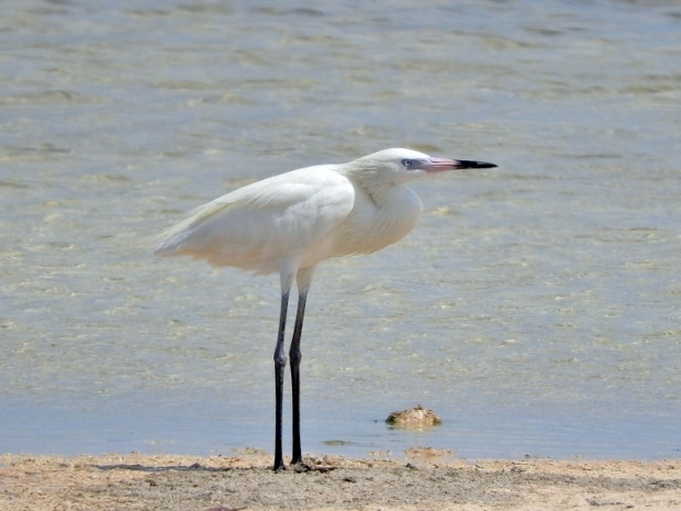 Reddish Egret (White morph adult)