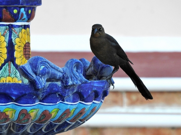 Great-tailed Grackle on Fountain