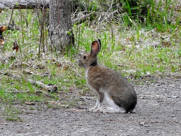 Snowshoe Hare #2