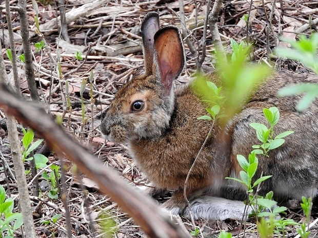 Snowshoe Hare #3