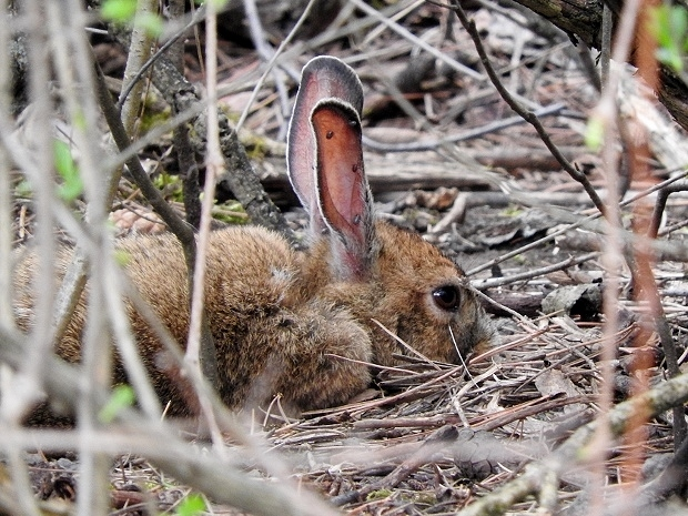Snowshoe Hare #4