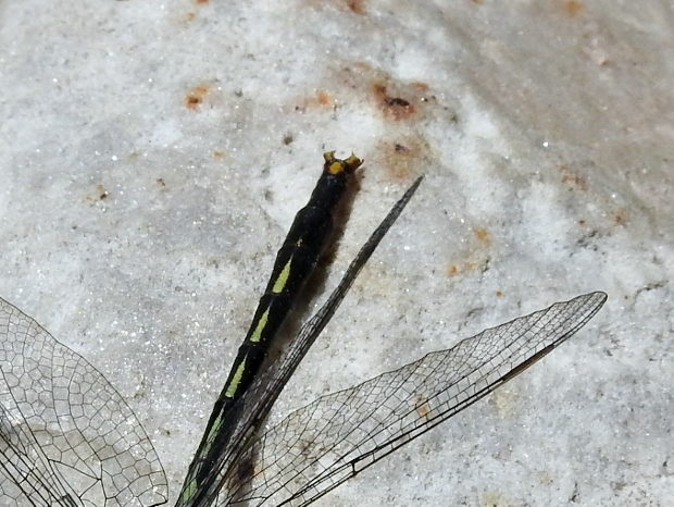 Lilypad Clubtail (view of claspers)