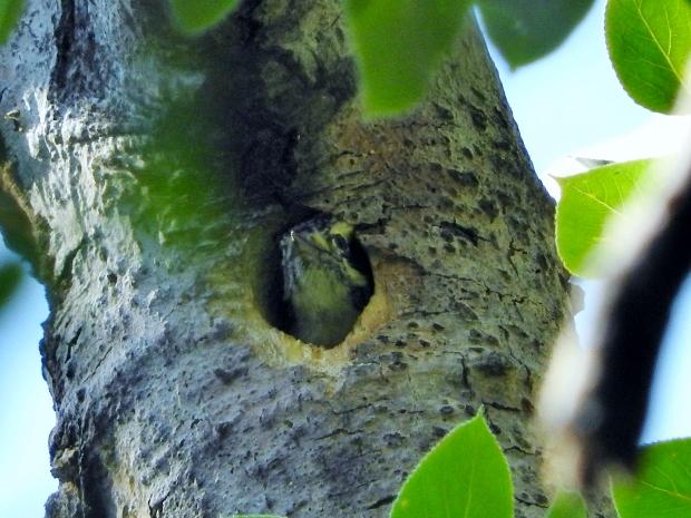 Downy Woodpecker in nest