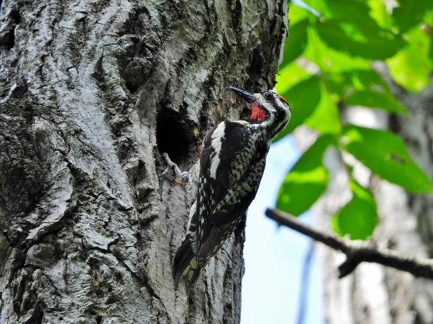 Yellow-bellied Sapsucker at Nest