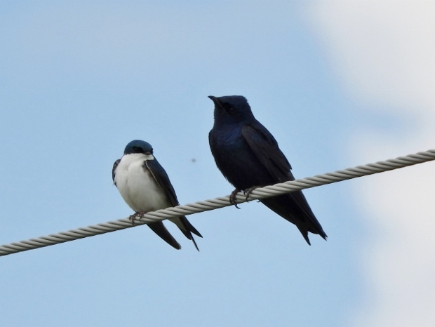 Tree Swallow with Purple Martin