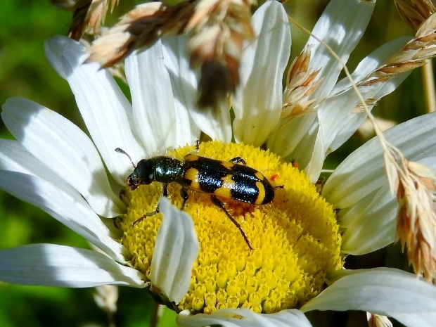 Red-blue Checkered Beetle