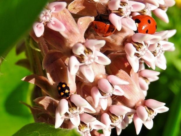 Three Lady Beetles
