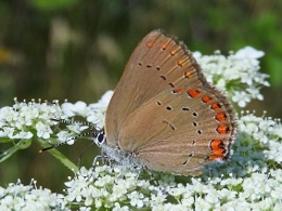 Coral Hairstreak