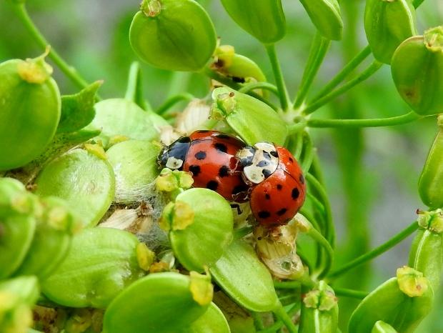 Asian Ladybeetles
