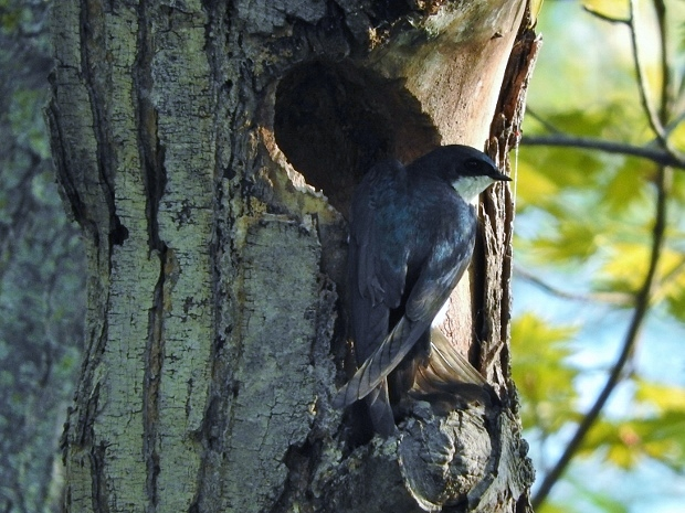 Tree Swallow at Nest