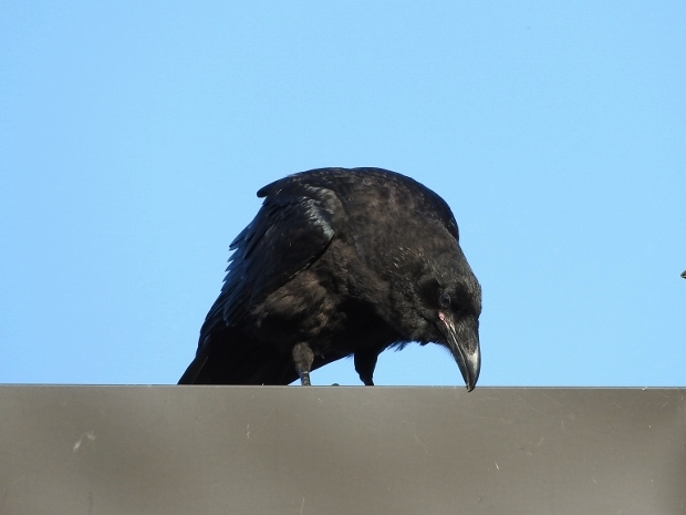 Common Raven (juvenile)