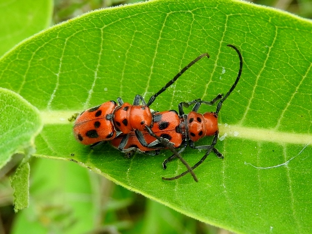 Red Milkweed Beetles
