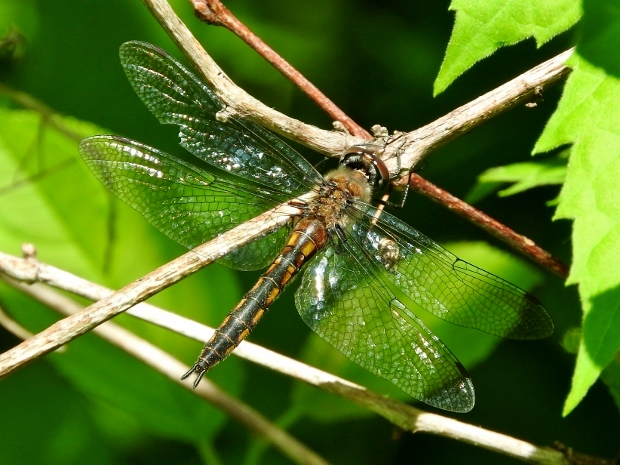 Spiny Baskettail