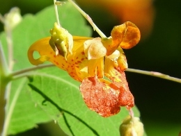 Spotted Jewelweed (aka Touch-me-not)