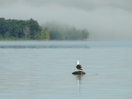 Great Black-backed Gull on the Ottawa River