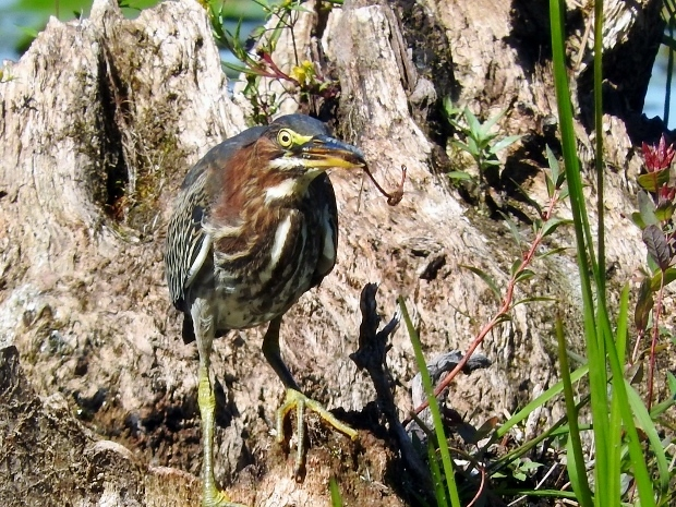 Green Heron with Meadowhawks