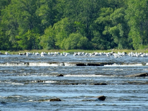 Gulls in the Rapids (click to enlarge)