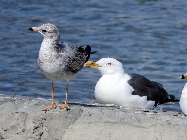 Lesser Black-backed Gull with Ring-billed Gull