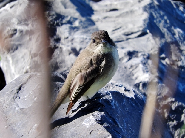 Eastern Phoebe pretending to be a Pipit