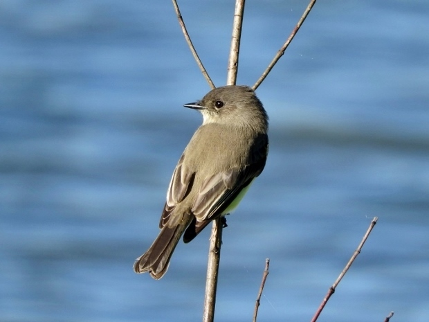 Eastern Phoebe going back to being a flycatcher