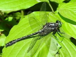 Mustached Clubtail