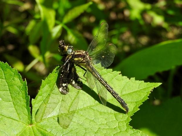 Harpoon Clubtail with Dark Fishfly