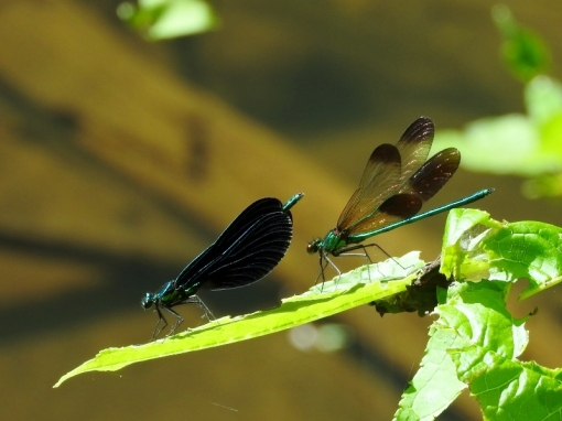 Ebony and River Jewelwings