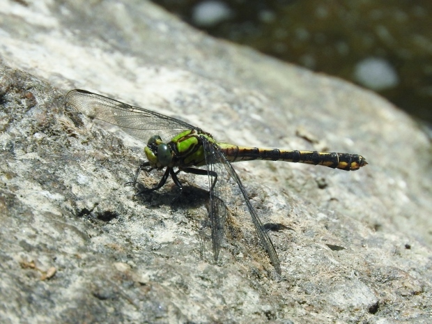 Maine Snaketail
