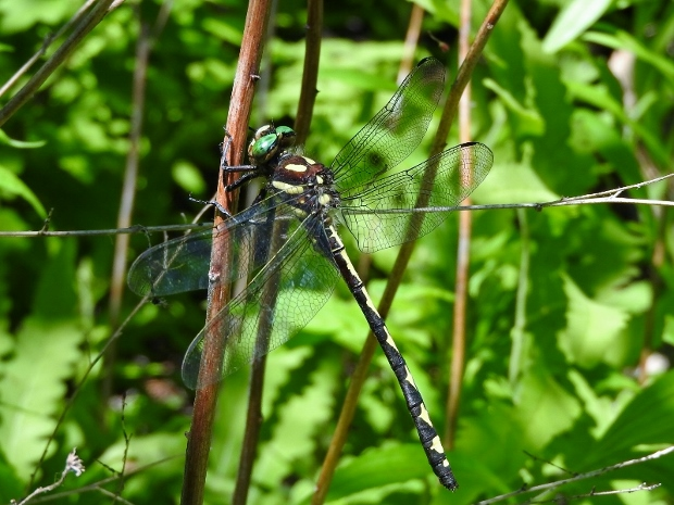 Arrowhead Spiketail