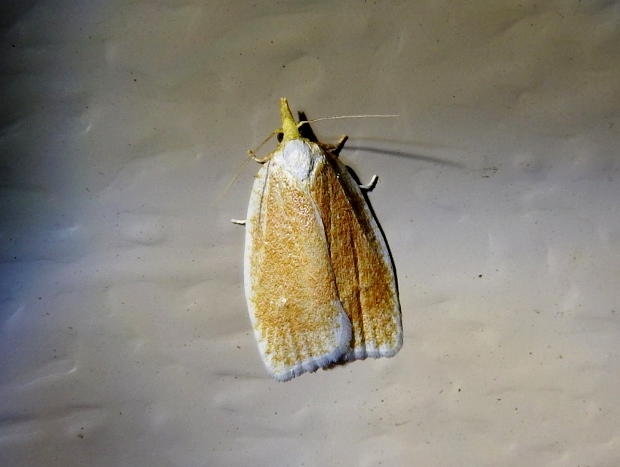 Tortricid sp.