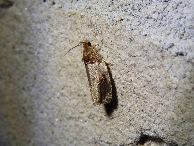 Hydrangea Leaftier Moth