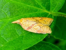 Reticulate Fruitworm Moth