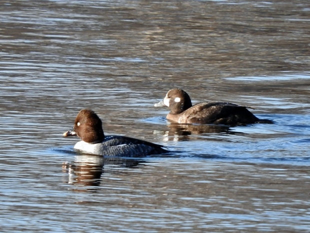 Harlequin Duck with Common Goldeneye