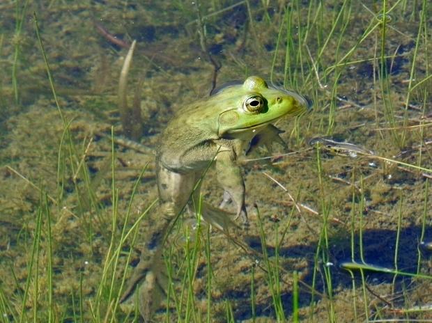 Bullfrog chillin'