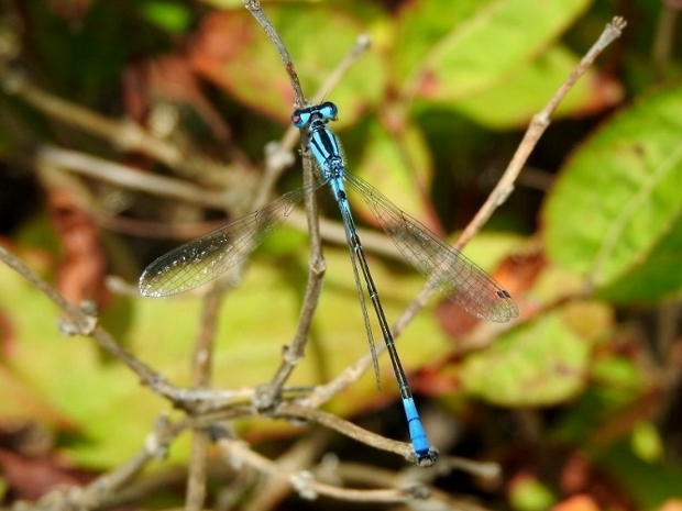 Azure Bluet