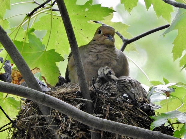 Mourning Dove nest