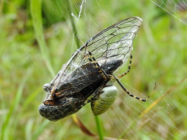 Banded Argiope with Cicada